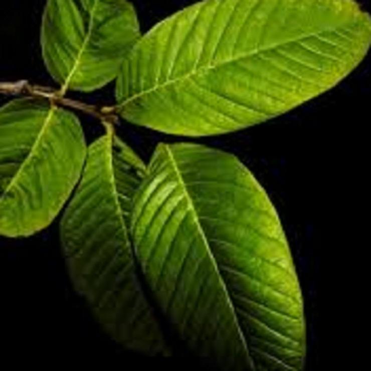 برگ گواوا شامل ترکیبات دارای خواص ضد التهابی و آنتی اکسیدانی است. این می تواند فولیکول های مو آسیب دیده را بهبود بخشد و رشد مو را بهبود بخشد. برگ گواوا نیز ضد میکروبی است و می تواند عفونت های پوستی را که ممکن است مانع رشد موی شما شود، درمان کند (32).
